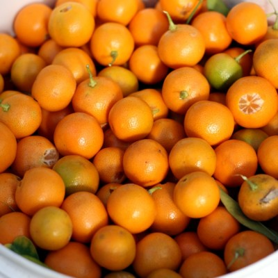 bucket of cumquats_crop